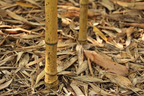 黄金布袋竹