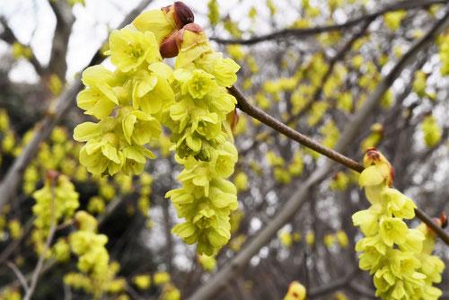 ニオイトサミズキの花