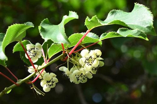 Kiwi berry,picture,Japan