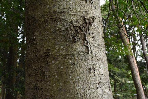 リンボク 樹木図鑑
