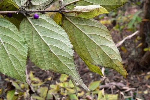 藪紫,樹木