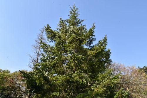 白檜曽,植木,しらびそ