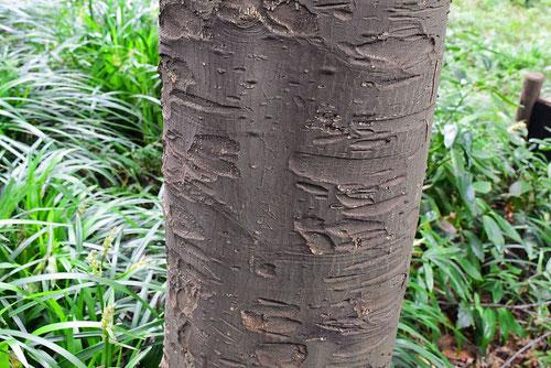 くろき 樹木 特徴