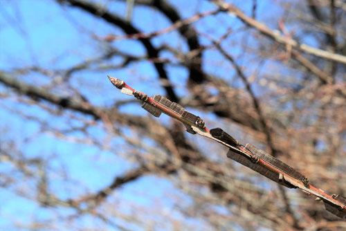 錦木,にしきぎ,特徴
