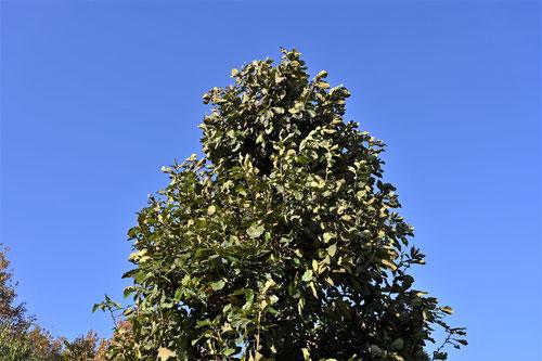 カシワの木,樹木図鑑