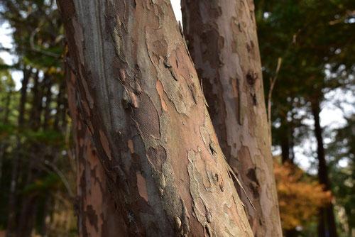 りょうぶ 木 幹 画像