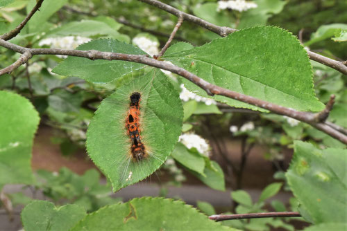 かまつかの木の葉,毛虫