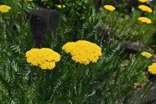 黄花の鋸草
