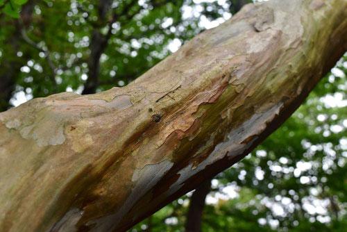 さるすべり 樹皮