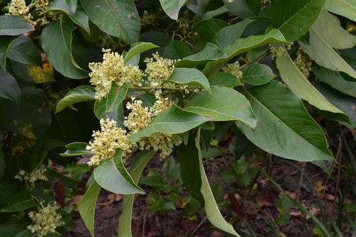 ハチジョウイタドリの花