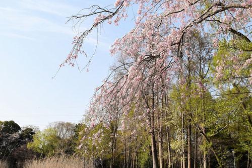 糸桜,しだれ