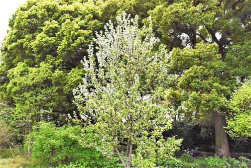 ヒメリンゴ 庭木図鑑 画像