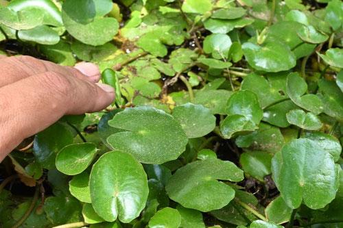 アサザの葉