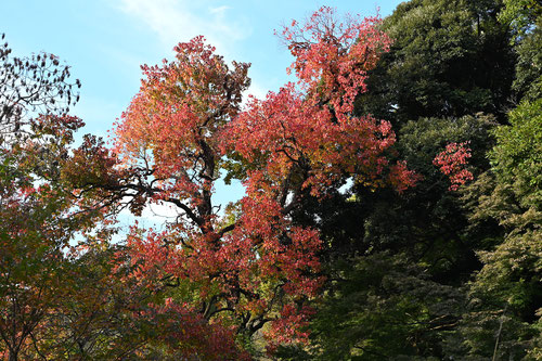 Chinese tallow tree,red leaves