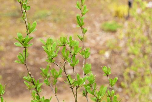 クコの葉っぱ 画像