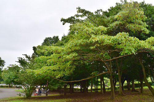 イイギリ 樹木 特徴