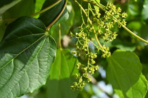 イイギリの花 画像