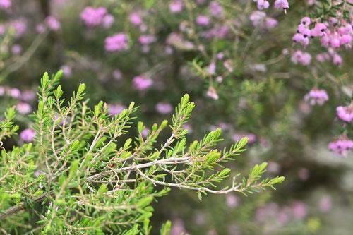 エリカ,植物,葉っぱ