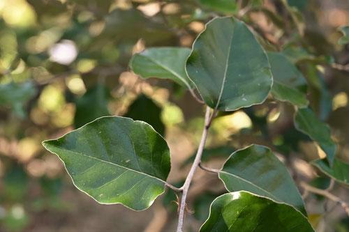 まるばぐみの木