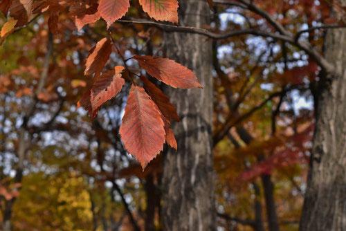 コナラの紅葉,画像