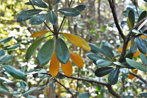 アメリカシャクナゲ 葉が黄色い