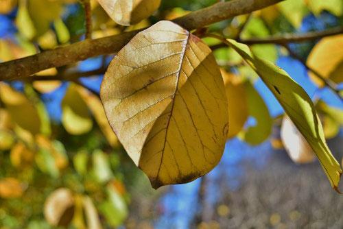 木蓮 黄葉 紅葉