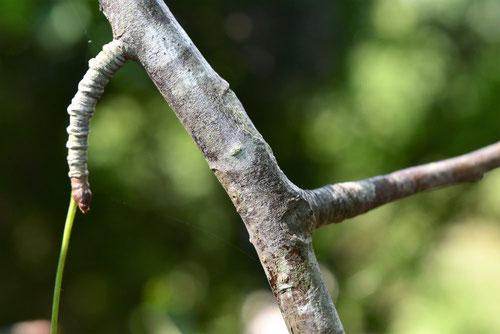 ヤマナシ 枝