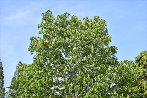 Horse chestnut,picture