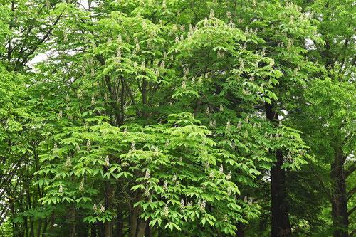 Horse chestnut,picture