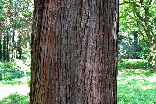 ヒムロスギ 樹木図鑑
