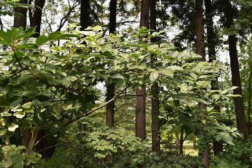 ゴシュユの木