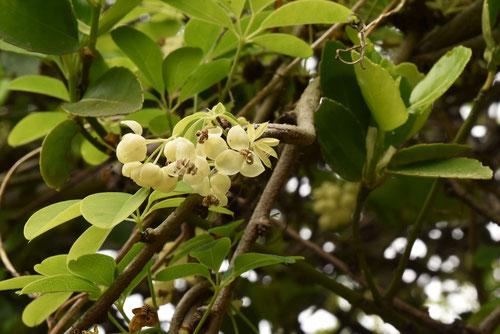 アケビ 白花 画像