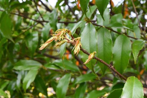 リンボクという木,りんぼく