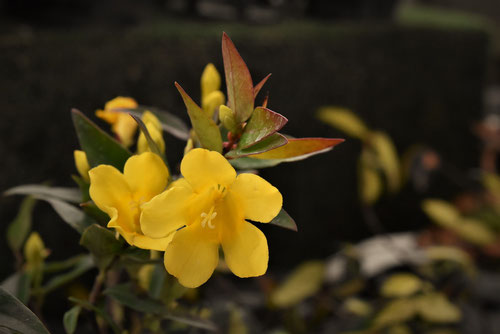 Carolina jasmine,trumpet flower