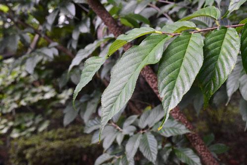 植物,ネコノチチ