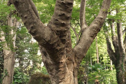 ミツデカエデの木,幹