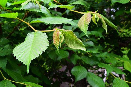 春楡の木,はるにれ,葉っぱ