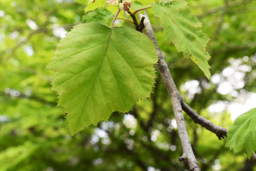 Hawthorn,leaves