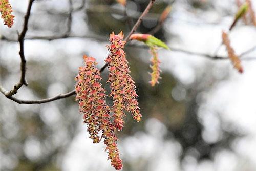 赤芽ソロ 花