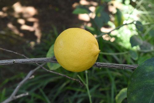 レモンの木,特徴