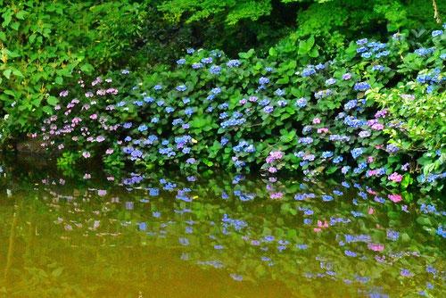 紫陽花の種類