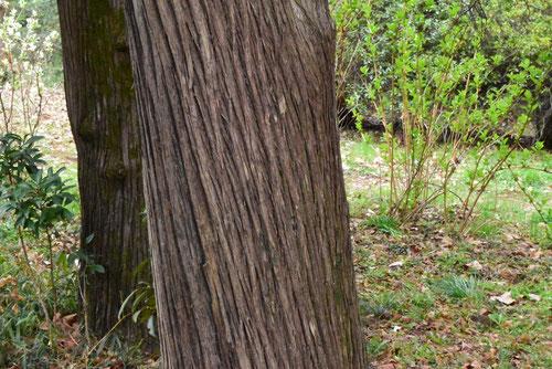 Chinese arborvitae,trunk