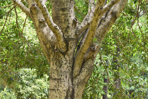 金木犀,きんもくせい,樹皮
