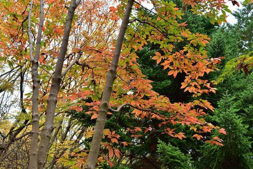 メグスリノキ 紅葉 画像