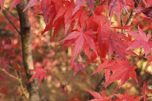 山モミジの紅葉