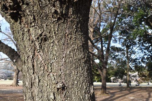 巨木,しだれ桜