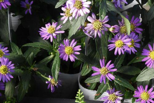 野紺菊,種類
