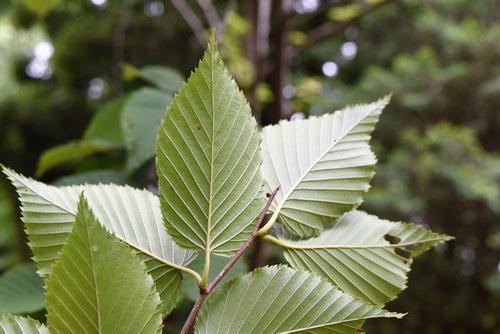 サロメチールの木