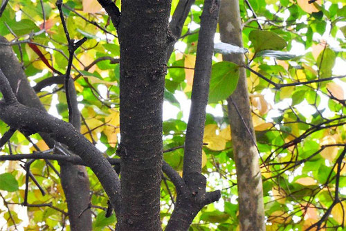 ヤマテラシ 樹皮
