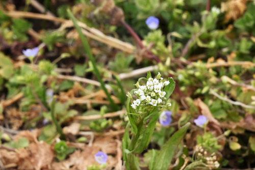 ペンペングサの花